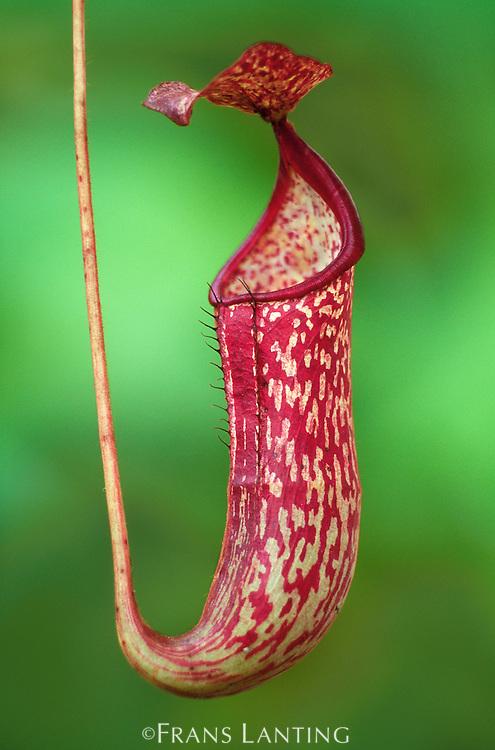 Pitcher plant, Nepenthes fusca, Maliau Basin, Sabah, Borneo