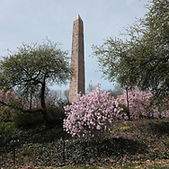 Blossoms and the Obelisk in Central Park.