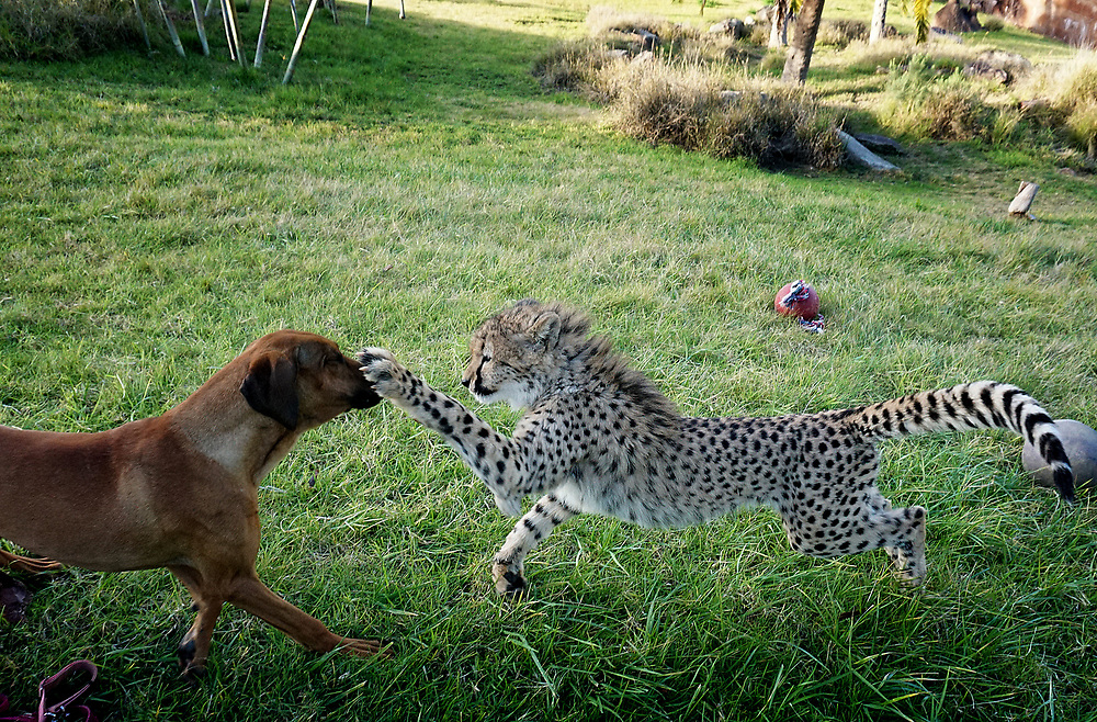 Ruuxa(CQ) the Cheetah and Raina, a Rhodesian Ridgeback Dog, play in an enclosure at the San Diego Zoo Safari Park in Escondido, California on Tuesday, January 20, 2015.(Photo by Sandy Huffaker for The New York Times)