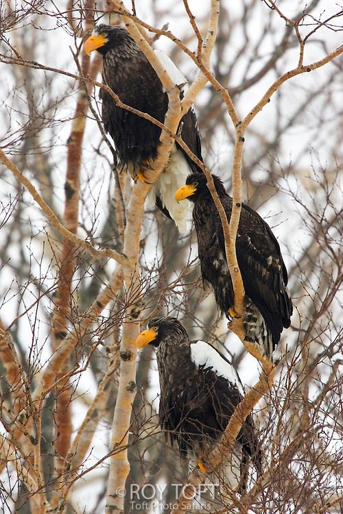 Three Steller's sea eagles perched in a tree, Hokkaido, Japan