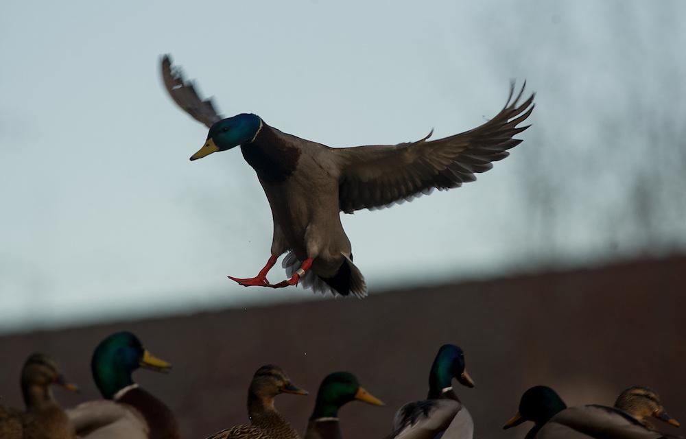 A banded drake mallard prepares to land.