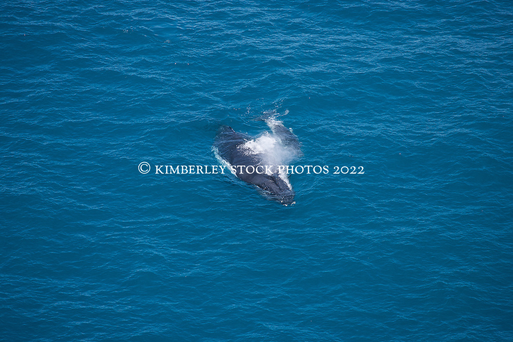 A female humpback whale with a very young calf surfaces off Broome's Cable Beach.