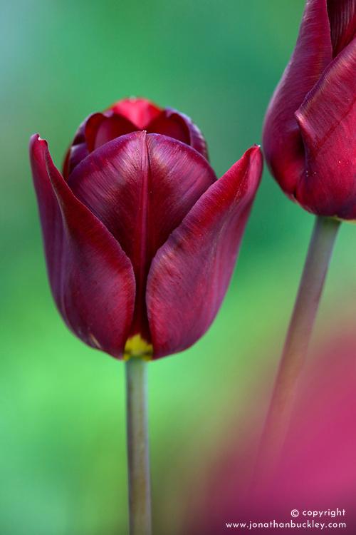 Tulipa 'Jan Reus'