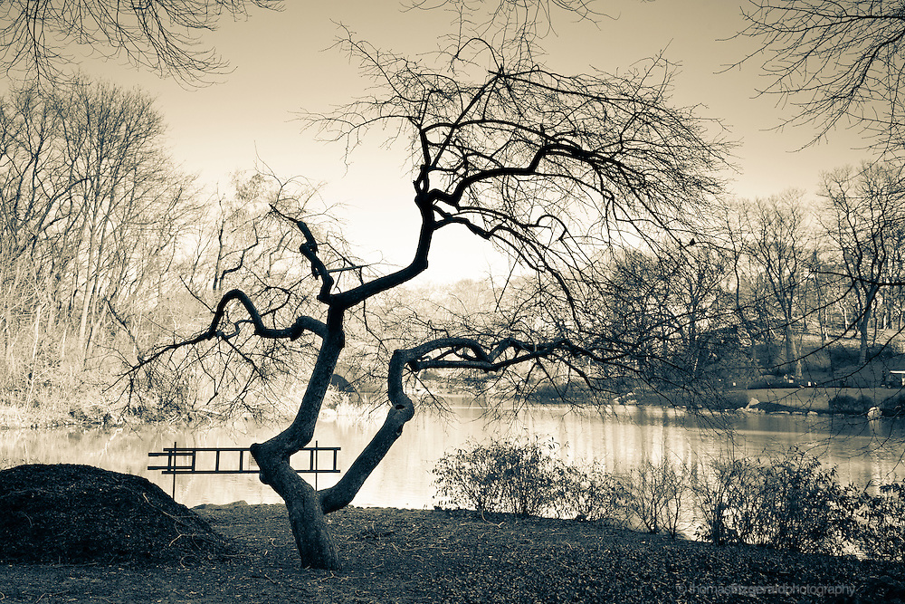 Artistic Sepia image of a leafless twisted tree in Central Park at the height of Winter