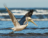 A brown pelican flies low over the water, looking for a place to rest, Puerto Vallarta, Mexico