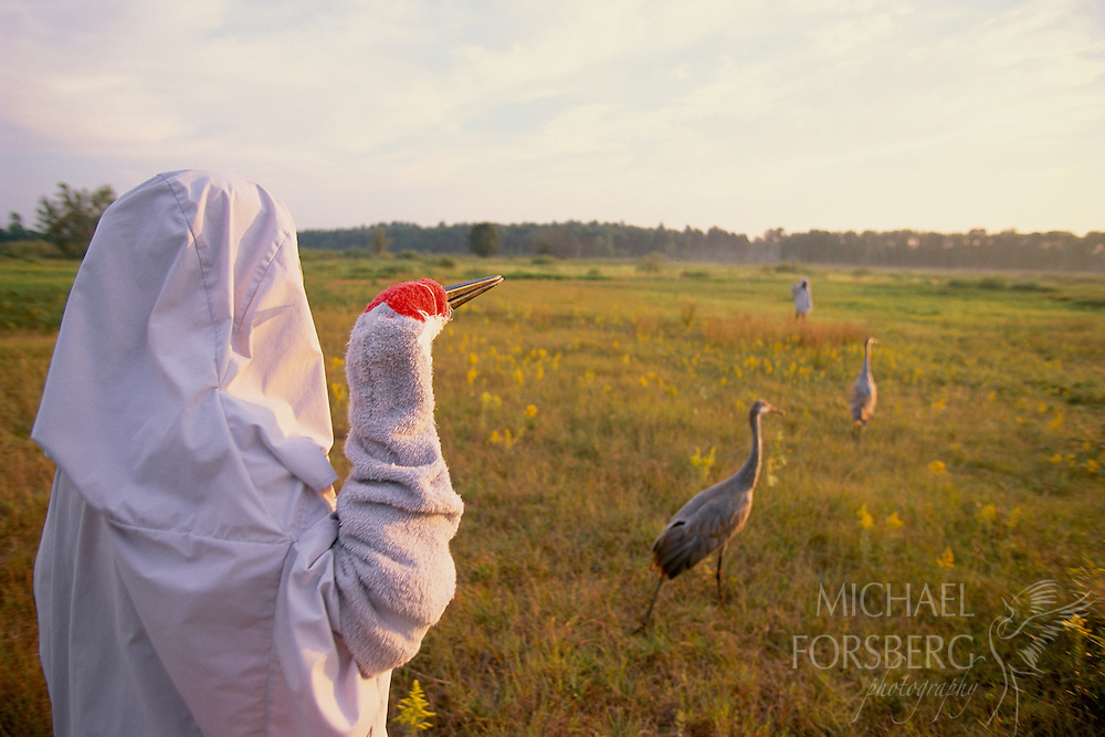 Cloaked researchers take captive-raised Sandhill Crane chicks for a walk on the prairie. Necedah National Wildlife Refuge, Wisconsin.