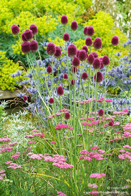 Allium sphaerocephalon, Eryngium x zabelii, Achillea millefolium 'Cerise Queen' and Euphorbia characias at Broughton Grange