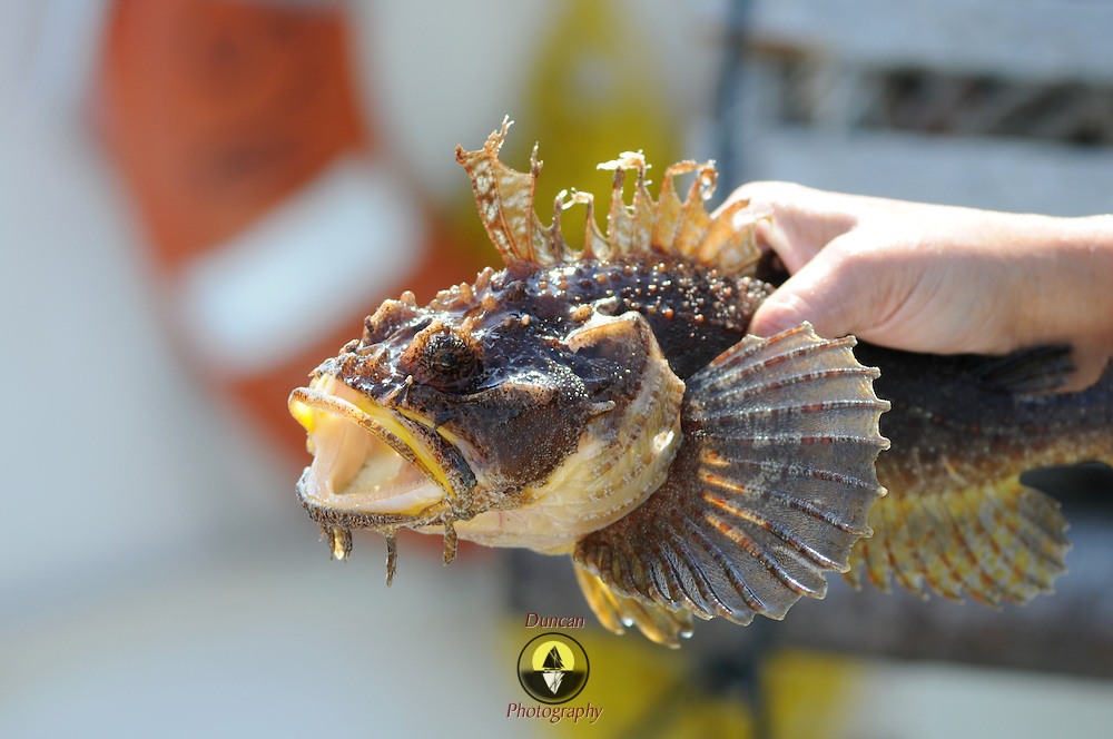 9/28/11 -- ACADIA NATIONAL PARK, Maine.  A sculpin caught in a lobster trap, held by a lobsterman's first mate.    Photo © 2011 by Roger S. Duncan.