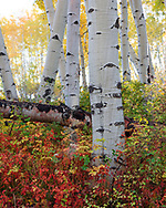 Taken on the Last Dollar Road, near Ridgeway Colorado. A beautiful shot of the colors in the forest during autumn.