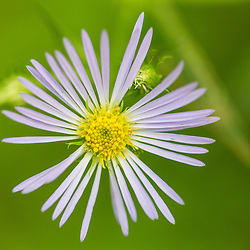 Purple-stemmed aster, Symphyotrichum puniceum, growing on the Reed Plantation in Reed, Maine.