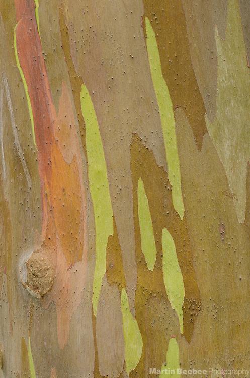 Rainbow eucalyptus (Eucalyptus deglupta) bark, Keahua Arboretum, Lihue-Koloa Forest Reserve, Kauai, Hawaii