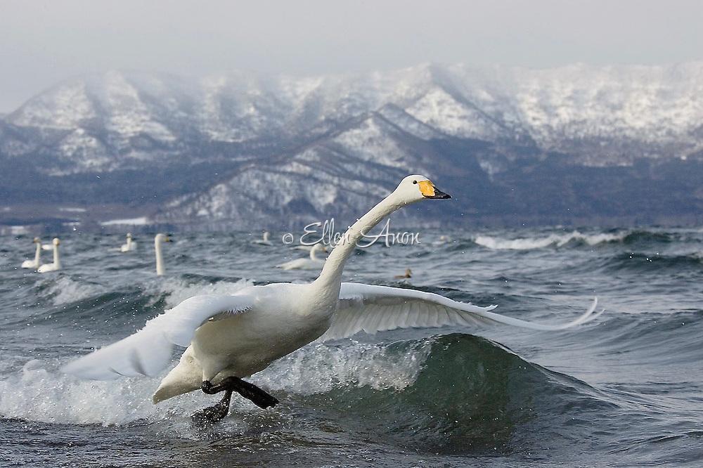 Swans in Hokkaido, Japan