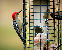 Red Bellied Woodpecker. Image taken with a Fuji X-H1 camera and 200 mm f/2 lens + 1.4x TC