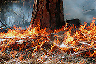 Prescribed fire in an old-growth ponderosa pine forest. Kootenai National Forest near Libby, northwest Montana.
