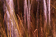 A painting-like  photo of birhes and bulrush.