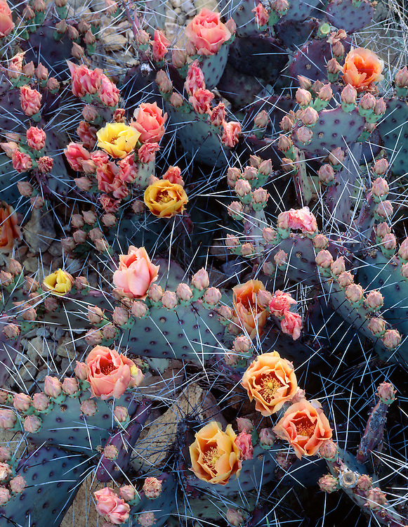 0501-1012 ~ Copyright: George H. H. Huey ~ Purple prickly pear cactus in flower [Opuntia violacca]. Big Bend National Park; Texas.