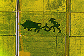 Aerial view of Rape Flowers in China