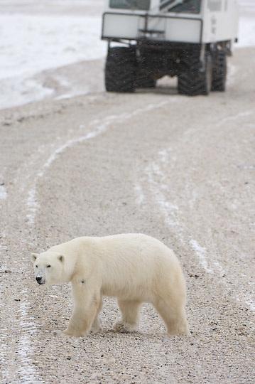 Polar Bear (Ursus maritimus) a bear waits for the ice to freeze on Hudson Bay. Cape Churchill, Manitoba
