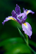 Wild California iris found in Redwood national Park.