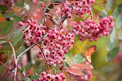 The berries of Sorbus hupehensis. Rowan