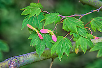 "Like any member of the maple family, the winged seeds of the vine maple develop in pairs, which will dry, split, and ""helicopter"" to the ground on the wind where some of them will take root as part of the next generation. These seeds were photographed<br />