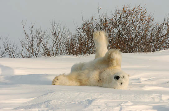 Polar Bear (Ursus maritimus) A large male stretches after a nap in the willows at Cape Churchill, Manitoba. Canada. November. Winter.
