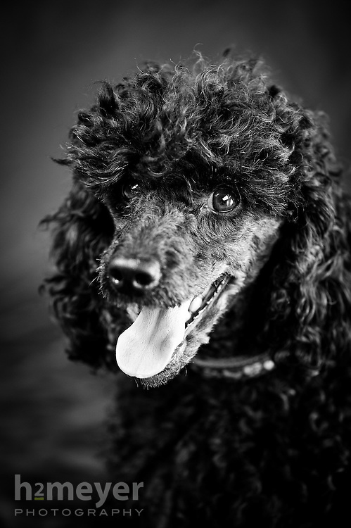 Miniature poodle black - owner Michelle Lathrop