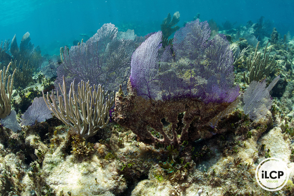 Within the coral reef a view a unhealthy Gorgorian Sea Fan.  The bottom half of the sea fan appears to be dead or dying.