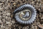 Black Portugese Millipede, Tasmania