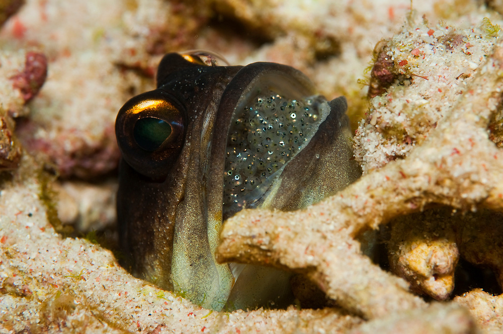 Male Randall's Jawfish (Opistoghathus randalli) incubating clutch of eggs in his mouth. He will release the tiny fry after about 10 days of incubation.
