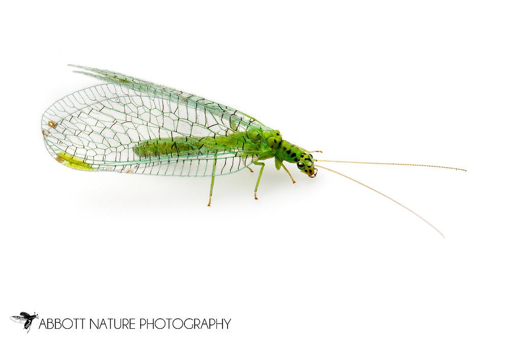 Green Lacewing (Chrysopa chi)<br /> ALASKA: Fairbanks North Star Borough<br /> Park along Chena River<br /> 5-July-2012  64.792174, -147.194800<br /> J.C. Abbott #2616 &amp; K.K. Abbott