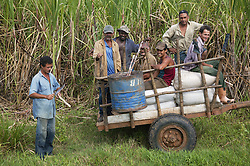 Oxen pulling workers on a cart on sugar plantation at Manuel Sanguilly; Pinar Province; Cuba,