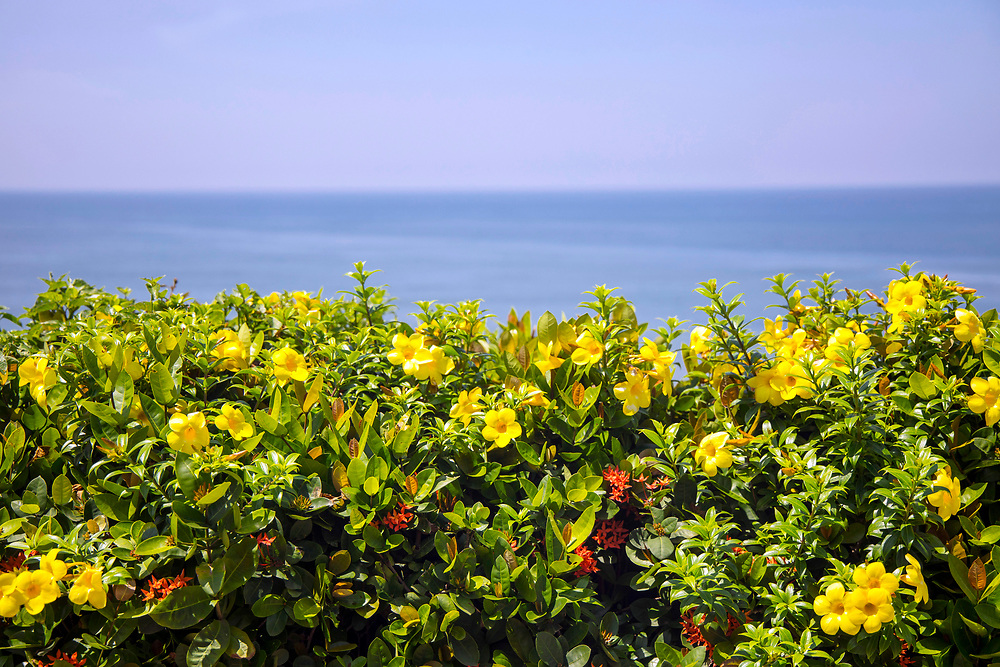 VARKALA, INDIA - 28th September 2019 - Flowers growing along the cliffside at Varkala Cliff Beach, Kerala, Southern India