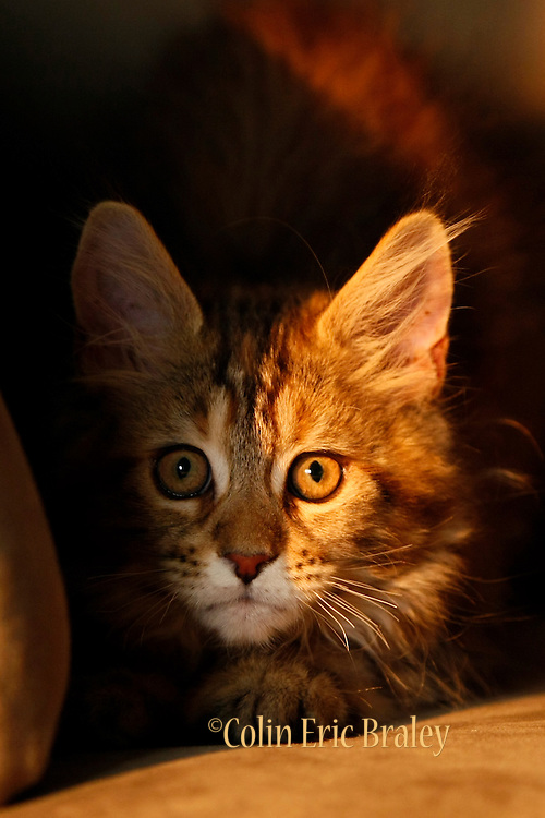 A furry feline of the Maine Coon breed is basked in the warm glow of the setting sun through a window.