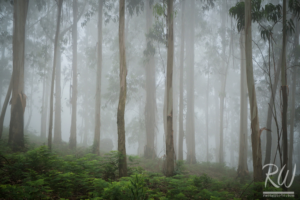 Eucalyptus Tree Forest in Fog, A Guarda, Spain<br />