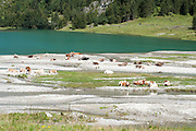 Cows grazing by a lake, Austria, Tyrol, Hohe Tauern National Park