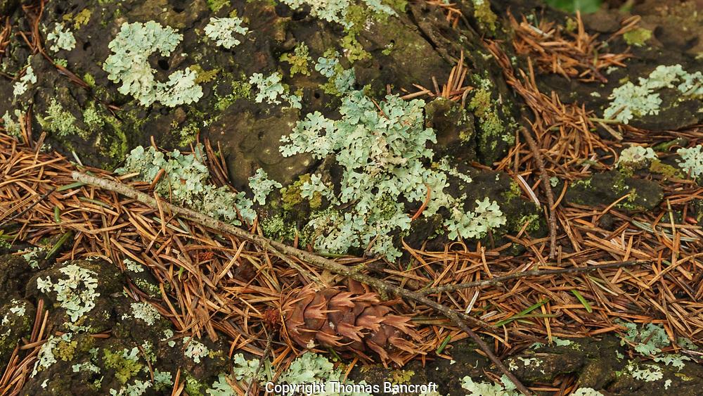 Shield or Waxpaper Lichen with a Douglas fir cone