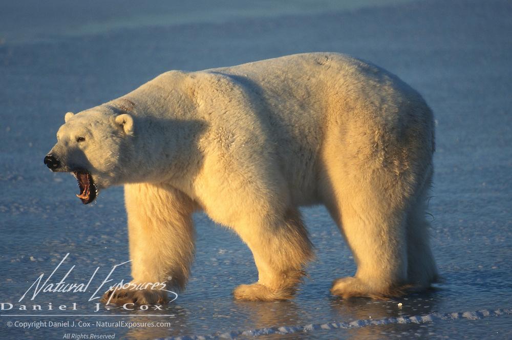 Polar bear (Ursus maritimus) adult snarling. Hudson Bay, Canada
