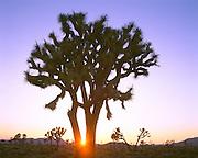 0607-1000B ~ Copyright: George H. H. Huey ~ Joshua tree at sunset near Hidden Valley. Joshua Tree National Park, California.