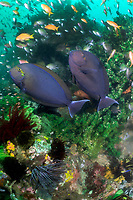 Surgeonfish and Anthias in murky water<br /> <br /> Shot in Indonesia