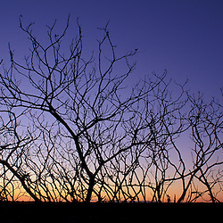 Odiorne Point SP, Rye, NH.  The silhouette of a Staghorn Sumac Tree, Rhus Typhina, at sunrise.  Winter on the NH Seacost...