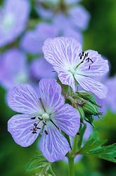 Geranium pratense 'Mrs. Kendall Clark'