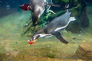 Penguins play with Valentine's Day treats at Woodland Park Zoo in Seattle, Washington, on Friday, February 10, 2017.