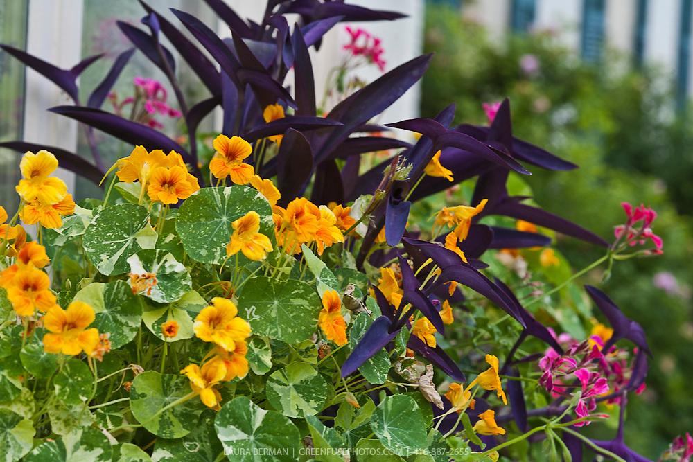 Windowbox planting of orange nasturtiums, Purple Heart vines and Balkan geraniums