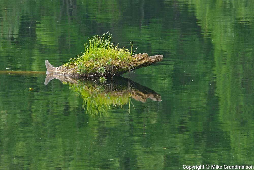 Vegetation growing on stump in Lac Long near St-Mathieu-du-Parc<br />Route des lacs<br />Quebec<br />Canada