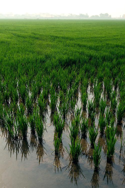 Rice plantations at La Albufera National Park, in Valencia, Spain.