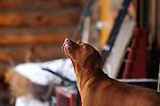 "SHOT 1/12/09 12:59:20 PM - Tanner, a four year-old male Vizsla, looks up at some gently falling snow in Crested Butte, Co. Crested Butte is a Home Rule Municipality in Gunnison County, Colorado, United States. A former coal mining town now called ""the last great Colorado ski town"", Crested Butte is a destination for skiing, mountain biking, and a variety of other outdoor activities. The population was 1,529 at the 2000 census. The Colorado General Assembly has designated Crested Butte the wildflower capital of Colorado. The primary winter activity in Crested Butte is skiing or snowboarding at nearby Crested Butte Mountain Resort in Mount Crested Butte, Colorado. Backcountry skiing in the surrounding mountains is some of the best in Colorado. The mountain, Crested Butte, rises to 12,162 feet (3,700 m) above sea level..(Photo by Marc Piscotty / © 2009)"