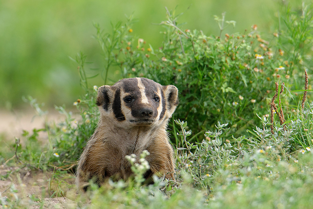 American Badger, Taxidea taxus;<br />