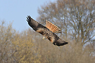 Red Kite Milvus milvus W 145-165cm. Graceful raptor, identified in flight by deeply forked tail (twisted to aid flight control) and long, bowed wings. Seldom spends much time on ground but sometimes perches in trees. Sexes are similar. Adult has pale grey head but otherwise mainly reddish brown plumage. Eye, base of bill and legs are yellow. In flight from below, note reddish brown body and underwing coverts, silvery grey tail and patch on primaries, and otherwise dark wings. From above, tail appears red while reddish brown back and wing coverts contrast with dark flight feathers. Juvenile resembles dull adult with pale margins to wing covert feathers. Voice Utters shrill calls in flight, like somebody whistling for their dog. Status As recently as late 1980's, confined to central Wales. Re-introduction programmes mean it is now very locally common in England and Scotland as well