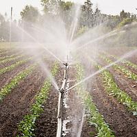 Irrigation at Thorpe's Organic farm